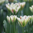 Tulipa Flaming Spring Green