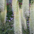 Eremurus White Beauty Favourite (PBR)