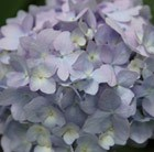 Hydrangea macrophylla Endless Summer BLUE= 'Bailmer'