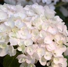Hydrangea Endless Summer Blushing Bride = 'Blushing Bride'