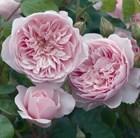 rose Wisley 2008 (shrub)
