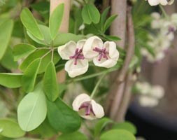 Akebia quinata creamflowered (chocolate vine)