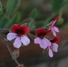 Pelargonium Renate Parsley