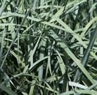 blue wheat grass