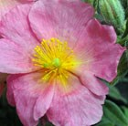rock rose (syn Wisley Pink )