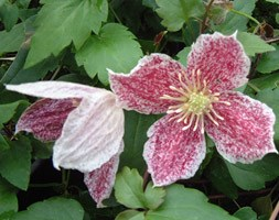 Clematis cirrhosa var. purpurascens 'Freckles' (clematis (group 1))