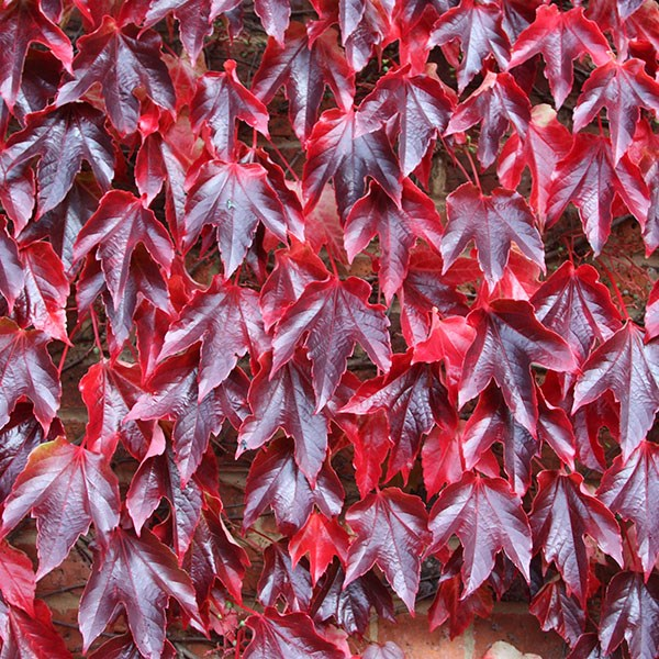 small-leaved virginia creeper