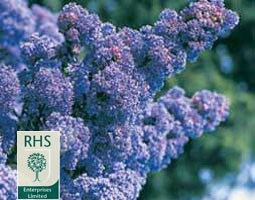 Ceanothus 'Puget Blue' (Californian lilac)