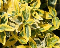Euonymus fortunei 'Emerald 'n' Gold' (winter creeper)