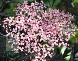 Sambucus nigra f. porphyrophylla 'Eva' (PBR) (elder)