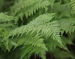 Athyrium filix-femina (lady fern)
