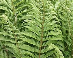 Dryopteris filix-mas (male fern)