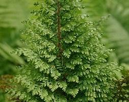 Polystichum setiferum 'Plumosomultilobum' (soft shield fern)