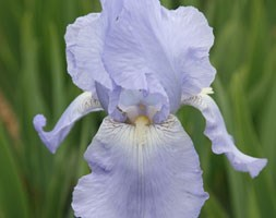 Iris 'Jane Phillips' (iris' (tall bearded))