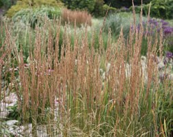 Calamagrostis x  acutiflora 'Overdam' (feather reed grass)