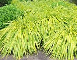 Hakonechloa macra 'Aureola' (golden hakonechloa)