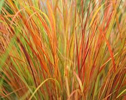 Anemanthele lessoniana (pheasant's tail grass (syn. Stipa arundinacea))
