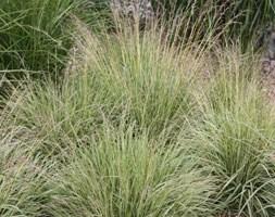 Molinia caerulea subsp. caerulea 'Variegata' (variegated purple moor grass)