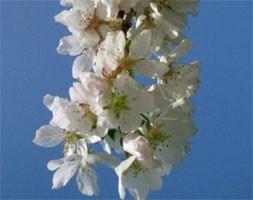 Prunus 'Hilling's Weeping' (weeping Fuji cherry (syn. 'Snow Showers'))