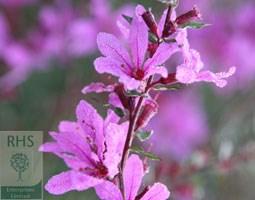 Lythrum virgatum 'Dropmore Purple' (loosestrife)