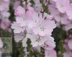 Sidalcea 'Elsie Heugh' (prairie mallow)