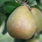 pear - double U cordon