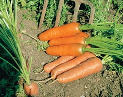 carrot 'Flyaway' F1 (carrot)