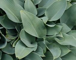 Hosta (Tardiana Group) 'Halcyon' (plantain lily)