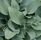 Hosta (Tardiana Group) Halcyon