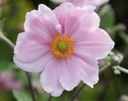 Anemone x hybrida 'Elegans' (Japanese anemone)