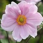 Anemone × hybrida Elegans