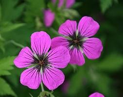 Geranium psilostemon (psilostemon)