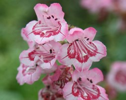 Penstemon 'Hidcote Pink' (beard tongue)