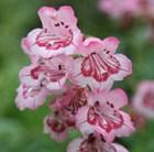 Penstemon Hidcote Pink
