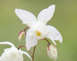 Epimedium x youngianum 'Niveum' (barrenwort)