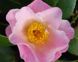 Camellia x williamsii 'Tiptoe' (camellia)