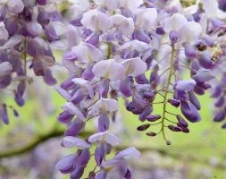 Wisteria sinensis 'Amethyst' (Chinese wisteria)
