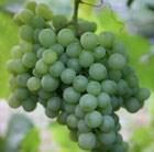 white outdoor grape