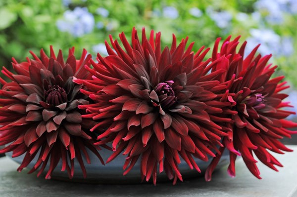 dahlia black cat bulbs