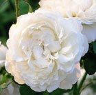 rose (shrub)