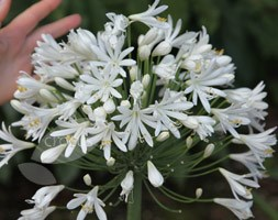 Agapanthus 'White Heaven' (PBR) (African lily)