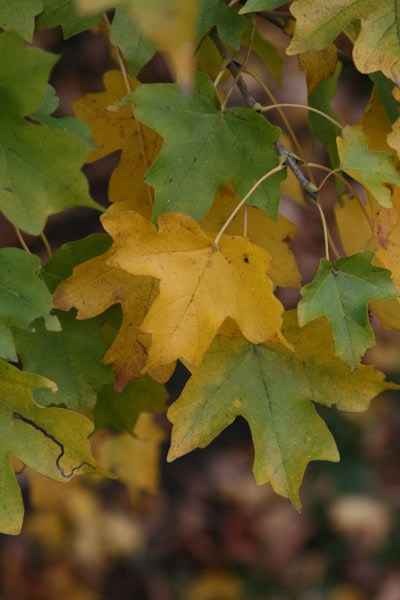 field maple - hedging range