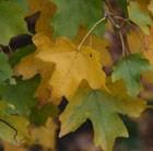 field maple - hedging range
