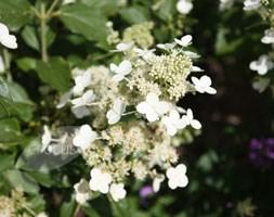 Hydrangea paniculata 'Kyushu' (hydrangea)