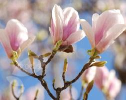 Magnolia x  soulangeana (magnolia)