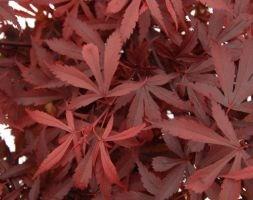 Acer palmatum (Amoenum Group) 'Atropurpureum' (Japanese maple)