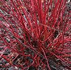 red-barked dogwood
