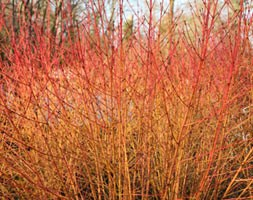 Cornus sanguinea 'Midwinter Fire' (dogwood)
