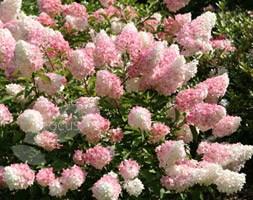 Hydrangea paniculata Vanille Fraise ('Renhy') (PBR) (hydrangea)