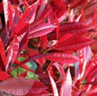 Photinia × fraseri Red Robin